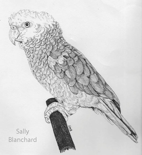 Sally Blanchard Original Pen and Ink Double yellow-head Amazon Pen and Ink Drawing.