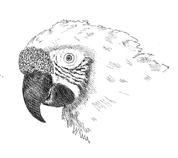 Sally Blanchard Original Ink Portrait Drawing of a Military Macaw Parrot