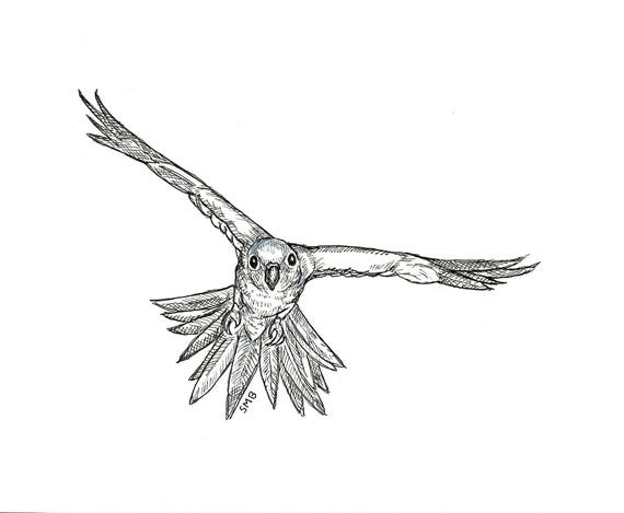 Sally Blanchard's Original Pen and Ink Drawing of a Sun Conure parrot in Flight