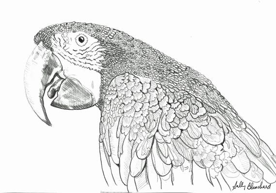 Sally Blanchard Pen and Ink Portrait Drawing of a Green-winged Macaw on acid free paper - one of a kind