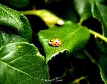 Ladybug On Rose Bush Leaf