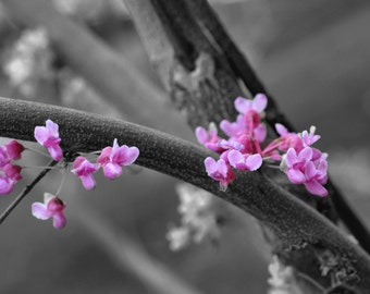 Redbud in Bloom Selective Color photo