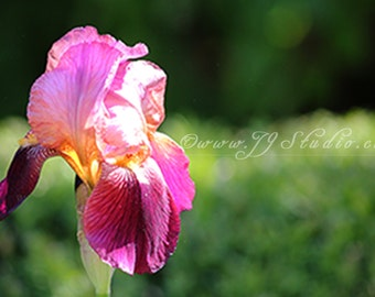 Pink Iris Flower