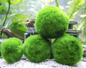 Marimo Moss Balls - Indoor Plants for Terrarium Containers Glass Jar Aquarium Display Kits - Mix Packs of Natural Home Decor Centerpieces