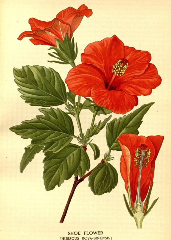 Shoe Flower Hibiscus Rosa Sinensis Victorian Botanical Etsy