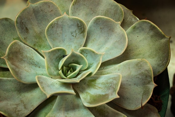 Succulent 2 (Photography)