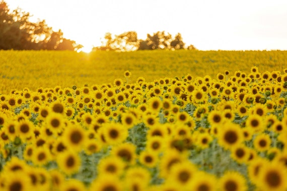 Sunflowers at Sunset (Photography)