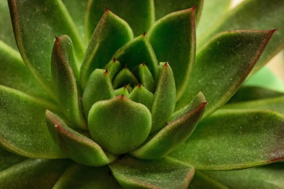 Succulent 1 (Photography)