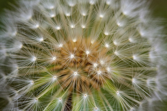 Dandelion Color (Photography)
