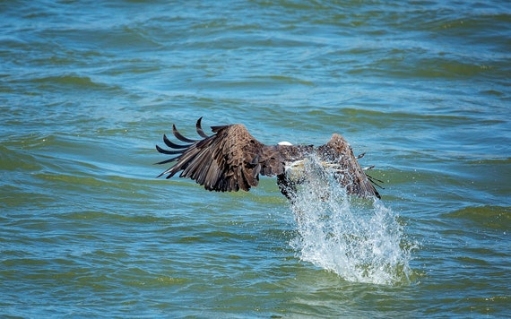 Eagle Splash (Photography)