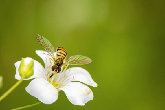 Hoverfly on Wildflower (Photography)