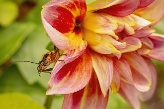 Leatherwing Soldier Beetle on Dahlia (Photography)