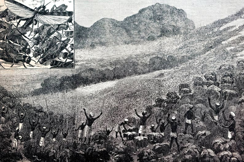 India 1878 DRIVING LOCUST Locusts from FIELD Insects Grasshoppers Antique Engraving Print Professionally Matted Wall Art Ready to Frame