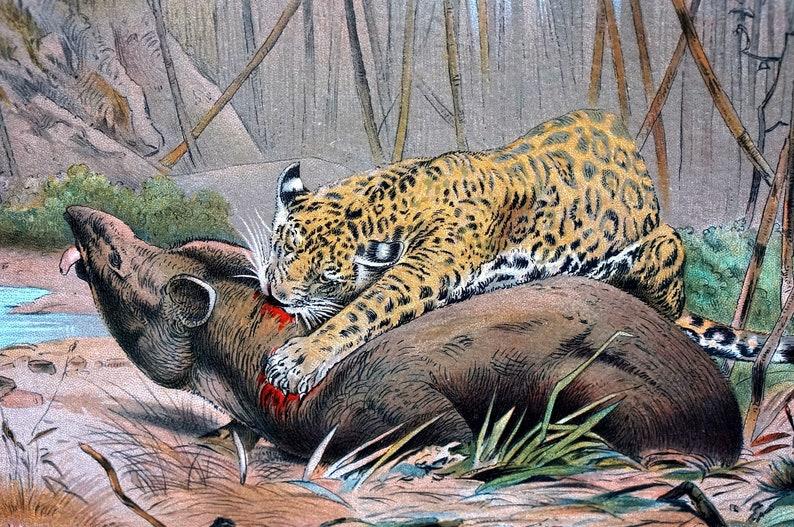 JAGUAR Cat KILLING TAPIR 1901 Animal Print - Color Chromolithograph Natural  History Wall Art Professionally Matted Kunnert Ready to Frame