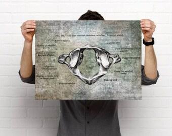 Atlas Chiropractic Anatomy Artwork