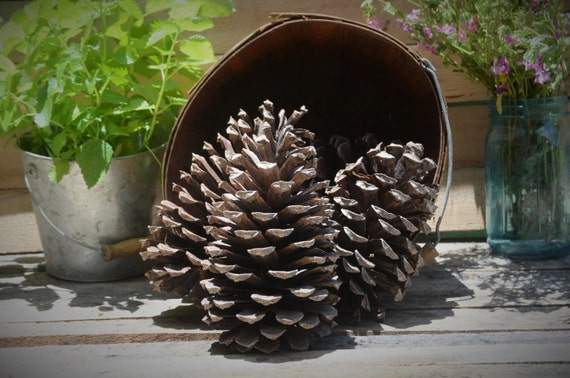 Longleaf pine cones, set of 4 large pine cones