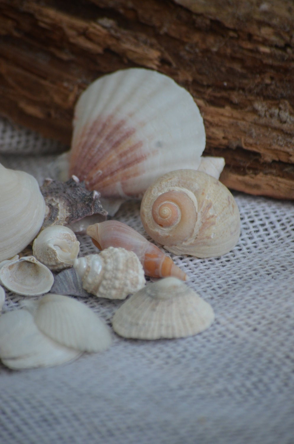 Seashell Variety Small Seashells 10 Oz Approx 50 To 60
