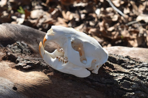 Beaver skull, whole Beaver skull, found natural object