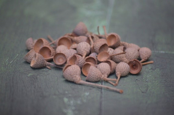 Acorn caps (100 count), nature curios and crafts, vase filler, rustic decor, fall decor, fall crafts