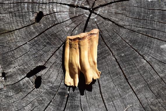 Cow or Buffalo Molar, animal tooth, animal molar, large herbivore molar