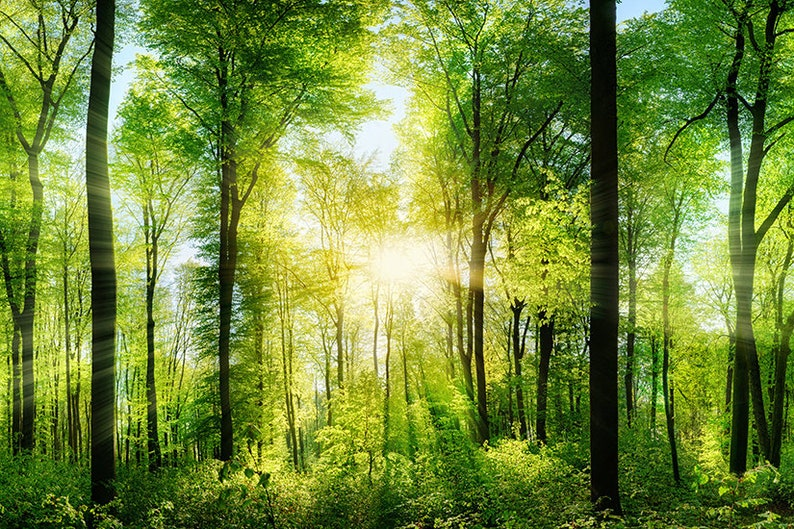 Forest Sunrays WALL MURAL Green Trees Wallpaper Large Wall Mural Self Adhesive Peel /& Stick Photo Mural Forest Morning Wall Covering