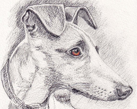 WHIPPET PRINT of Pencil Drawing,  Art Gift, Dog Illustration, Sight Hound Portrait, Wall Hanging, Pet Memory, Dog Lover, Animal Picture.