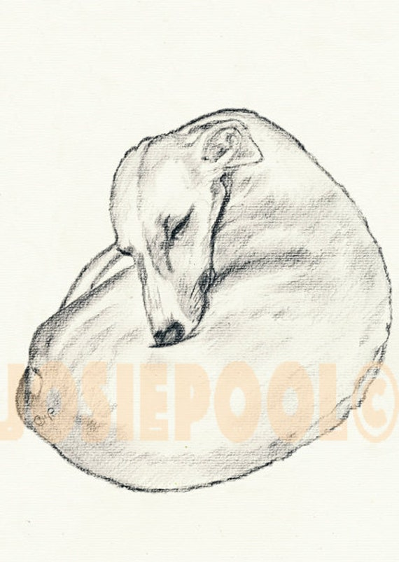 WHIPPET PRINT of Original Pencil Drawing Dog Art Picture of Sight Hound Pup  by Josie P.