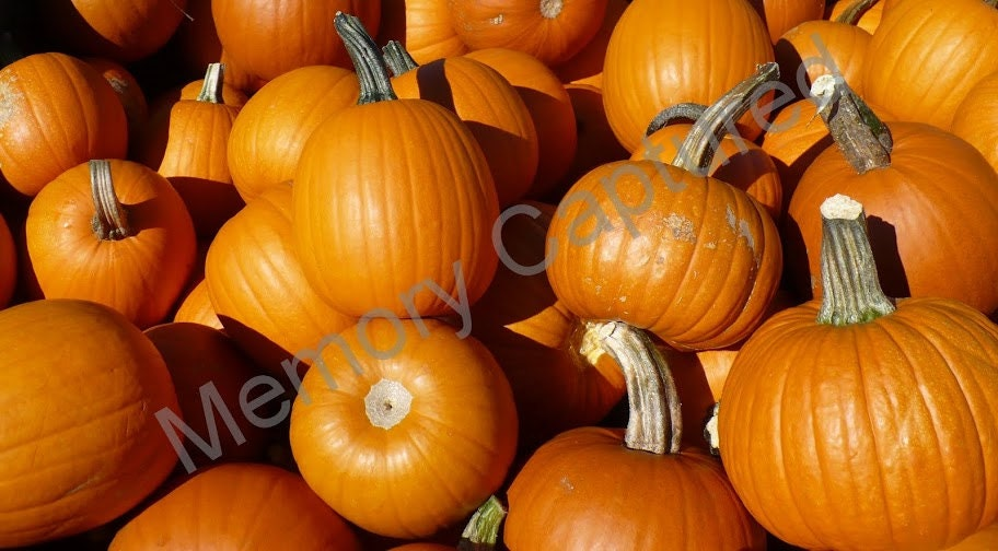Pumpkin Fine Art Photo Digital Download Pumpkin Patch