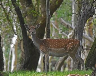 Deer Photography Print Wildlife Photograph Print Wildlife Home Decor Nature Photography Print Deer Wall Art Deer Home Decor UK Nature Art
