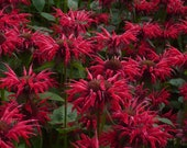 Bee Balm Gardenview Scarlet Monarda Plants in Separate 4 inch containers- Daylily Nursery one plant per pot, you choose amount