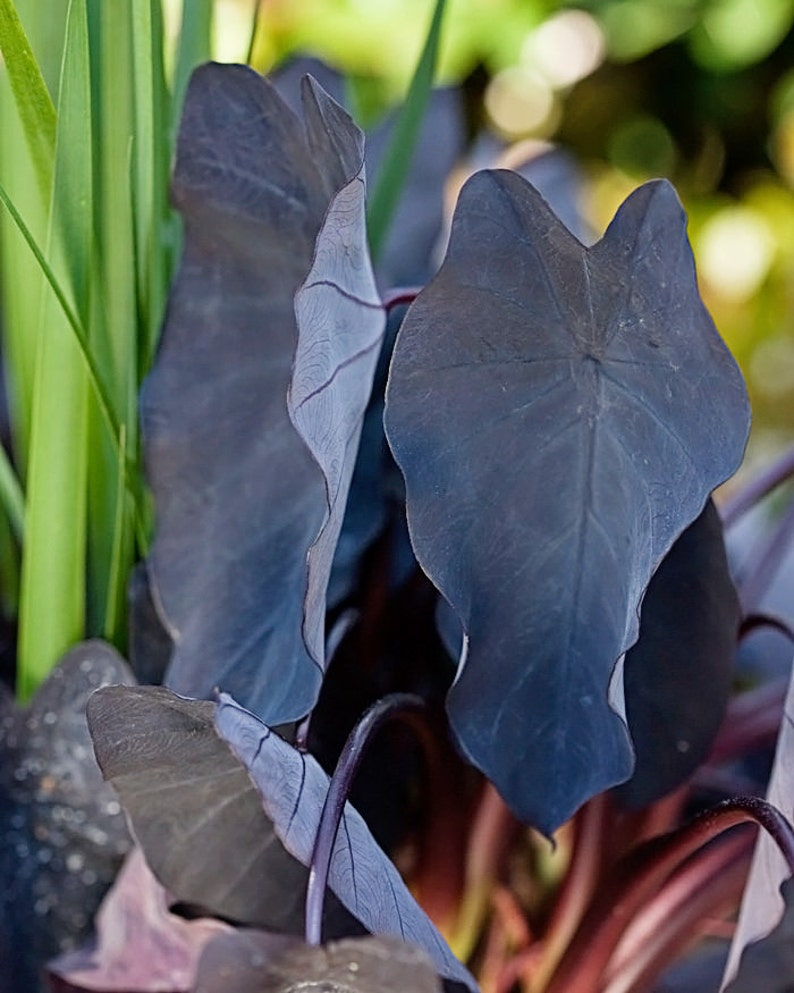 Black Magic Elephant Ears In 4 Inch Containers Etsy