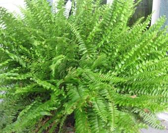 "BOSTON FERN - Original - 4"" Potted Plant - Live Plant"