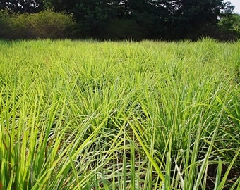 Lemongrass Plant--Container in 2.25 Inch Size! Also known as Fever Grass, Cymbopogon Citratus