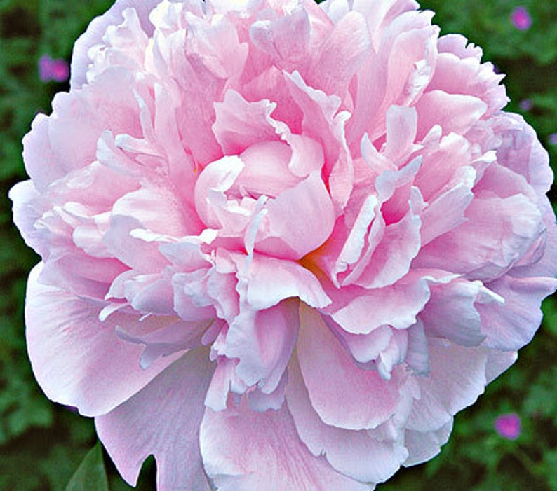Sarah Bernhardt Bareroot Peony 2-3 Eye Great for Fall or image 0