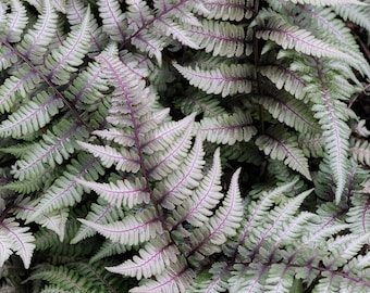 Japanese Painted Fern - - Shade Lover - Hardy - 4 inch cup