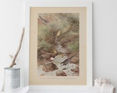 ANTIQUE BIRD PRINT - Vintage Bird Print - Antique Ornithology Poster, Professional Reproduction, Dipper, Wagtail, 1890s