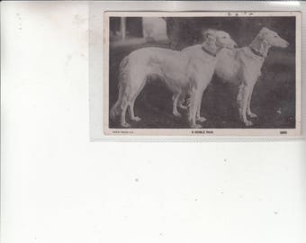 A NOBLE PAIR  Portrait Or Study Of Two Borzoi Dogs Antique Postcard