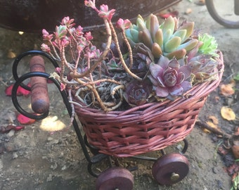 Baby Carriage Basket Full of Succulent Rosettes