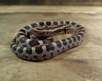 7867612d49f93a Cruelty Free •  FIRST SHED  Baby Neonate Corn Snake Cornsnake Colubrid Skin  Shed