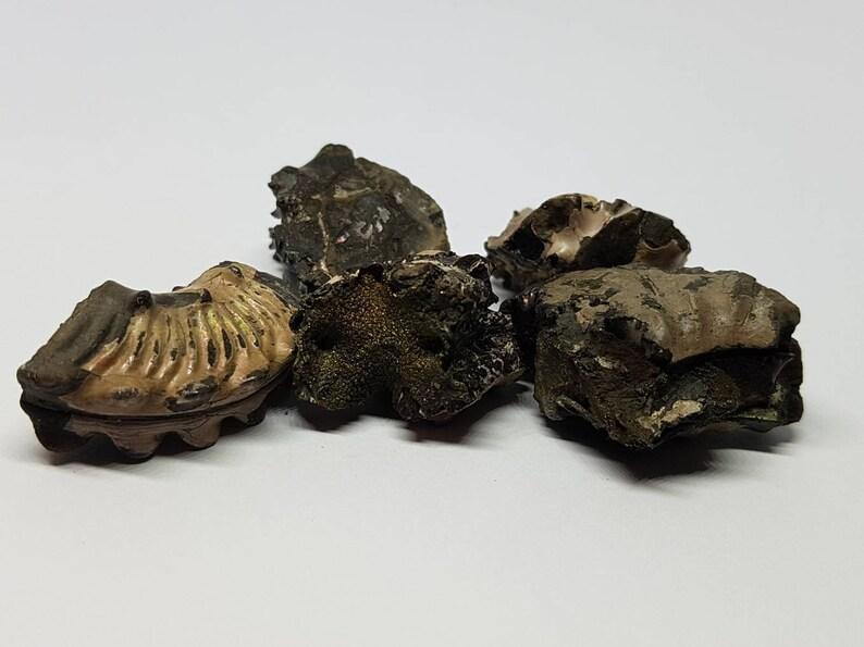 Folkstone ammonite specimen pieces.