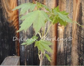 Sugar Maple Tree Etsy