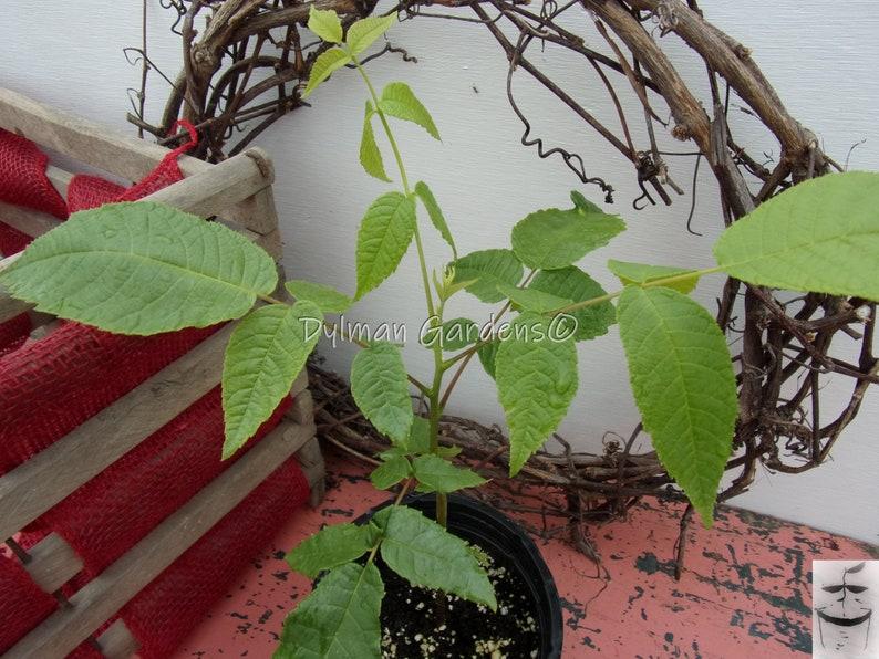 Nut tree Black Walnut Shade tree. 12 to 18 inches
