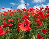 Turkish Red Poppy Organic Plant Seeds for Attracting Bees, Herbal Medicine, Spells for Fertility, Love, Luck, and Sleep, Witch 39 s Garden