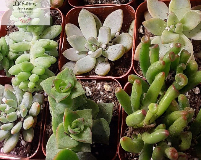 Assorted Succulent Live Plant - 3 Inch - Add to Our Cement Planter!