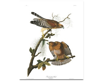Red Shouldered Hawk Print Birds Poster Wildlife Art Hawk Illustration Ornithology Fine Art Print  J.J Audubon  Ornithologist Gift 0425