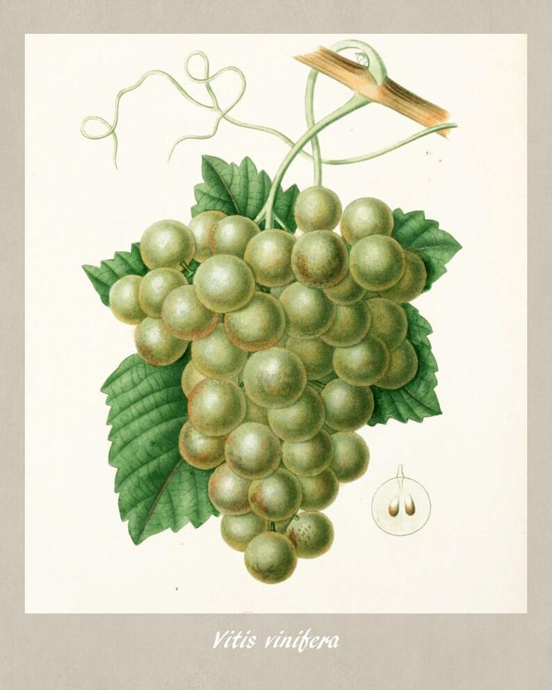 Grapes botanical Plant illustration Kitchen wall art Edouard Maubert   0371
