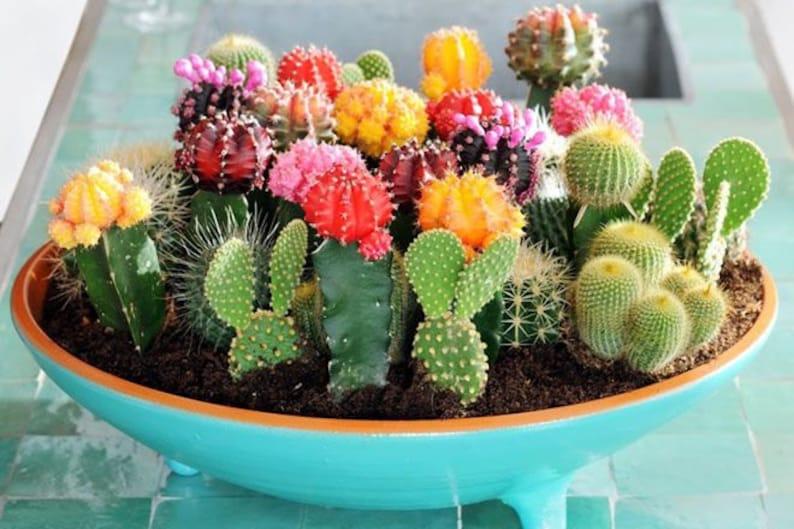 Cactus Seeds Cactaceae Mix 50seeds mixed Seeds image 0