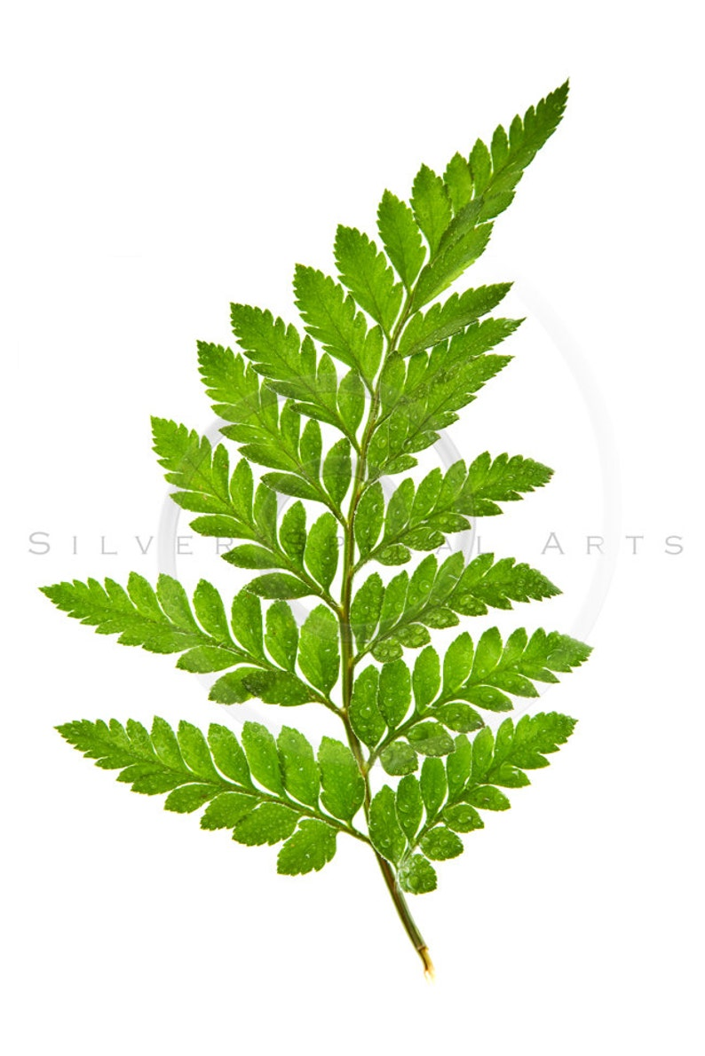 Fern Leaves Flower Instant Download Botanical Digital Image Printable  Flowers Ferns Fine Art Floral Print Royalty Free Photo Wall Decor