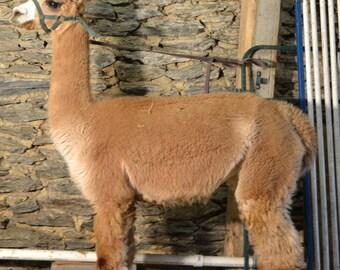 180 Yards Fawn Alpaca Yarn with 20% Merino (Mill Spun)