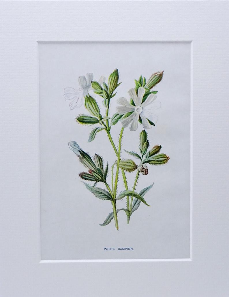 c 1890 from dis-bound book Familiar Wild Flowers Edward Hulme original illustration by F Victorian wildflower print ~ White Campion